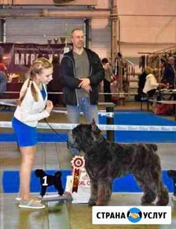 Подготовка и показ собак на выставках. Хендлер Рязань