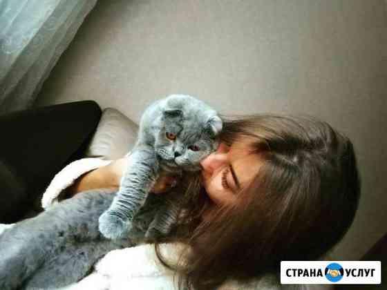 Шотландский вислоухий кот - На вязку Владимир