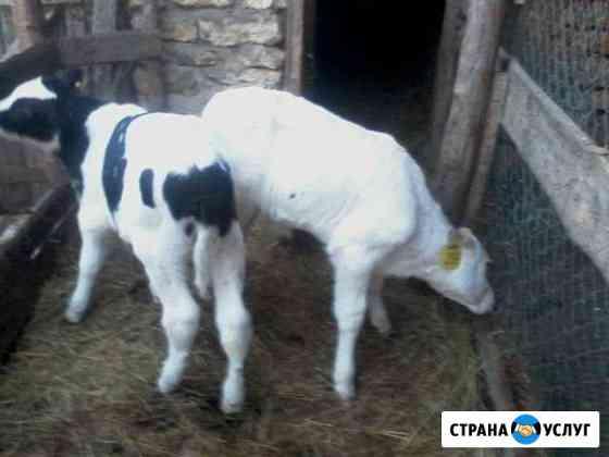 Искусственное осеменение коров и тёлок Липецк