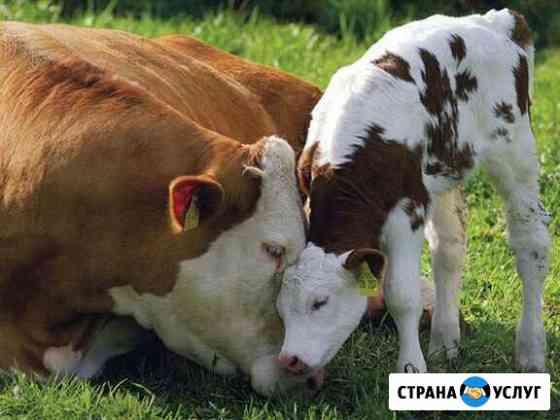 Искусственное осеменение коров Ульяновск