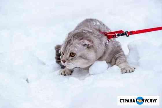 Шотландский кот на вязку Ижевск