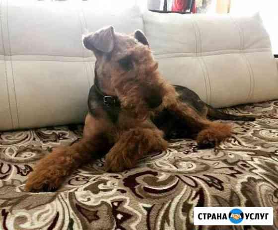 Вельштерьер по кличке Фредерик, ждёт невест Рыбинск