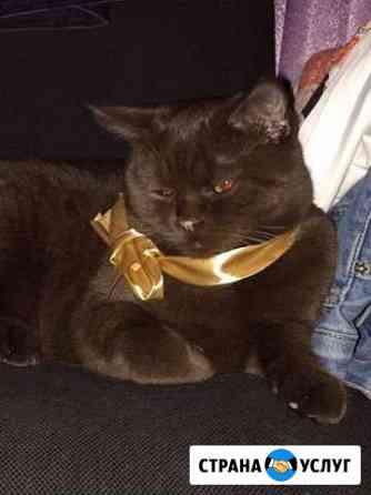 Вязка котик шотландец Скотиш-Страйт Симферополь