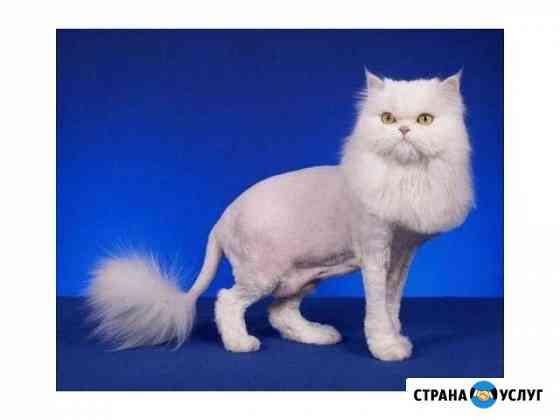 Стрижка кошек. Выезд на дом Киров