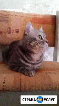 Вязка с шотландским котом Оренбург