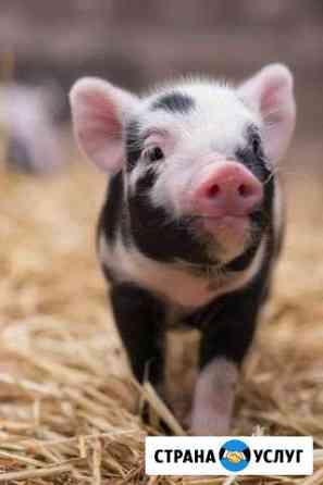 Продам мясо свинины Белогорск