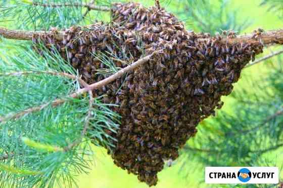 Сниму рой пчёл (Кочубеевский район) Барсуковская