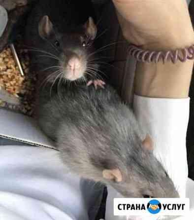 Вязка крыс Новосибирск