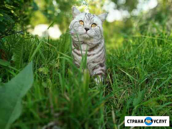 Вязка с британским котом Ижевск