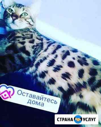 Вязка с бенгальским котом Тюмень