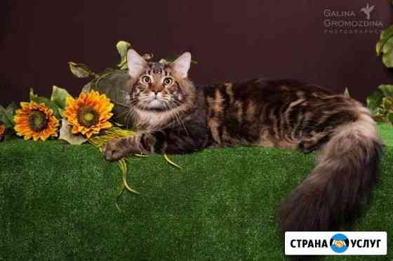 Вязка. Чемпион ждёт кошечек в гости Барнаул