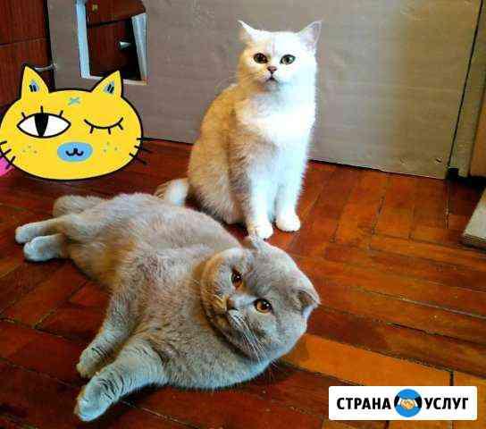 Шотландский кот для вязки Прохладный