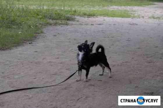 Кобель чихуа для вязки Дзержинск