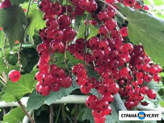 Смородина красная, черная, розовая.Малина Братск