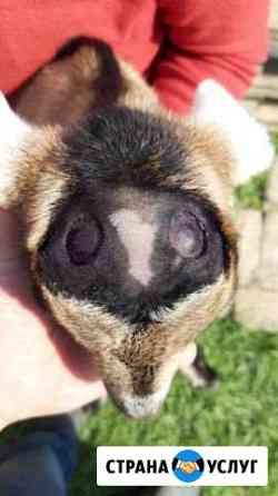 Обезроживание козлят,обрезка копыт Зеленокумск