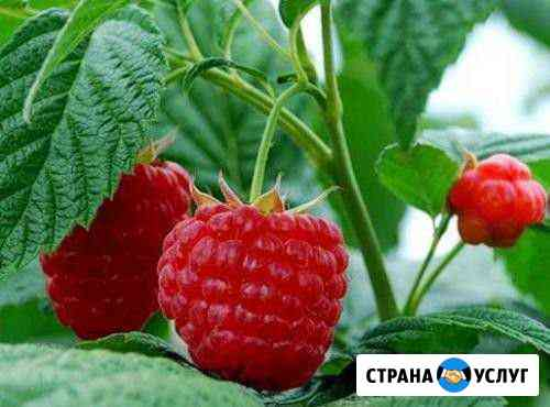 Малина свежая Бердск