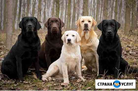 Квартирная передержка для лабрадоров Петрозаводск