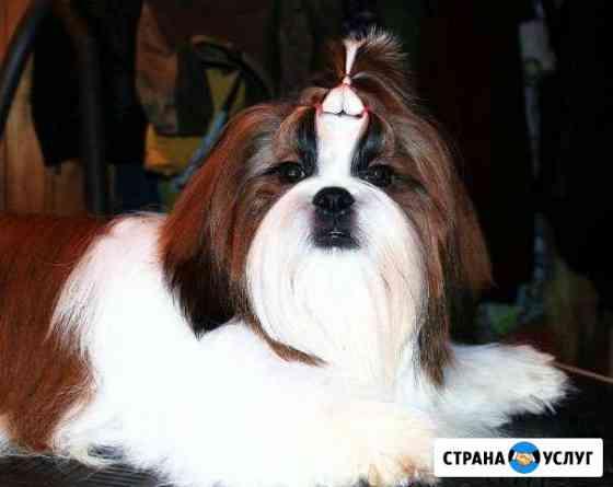 Чемпион ши-тцу на вязку Ставрополь