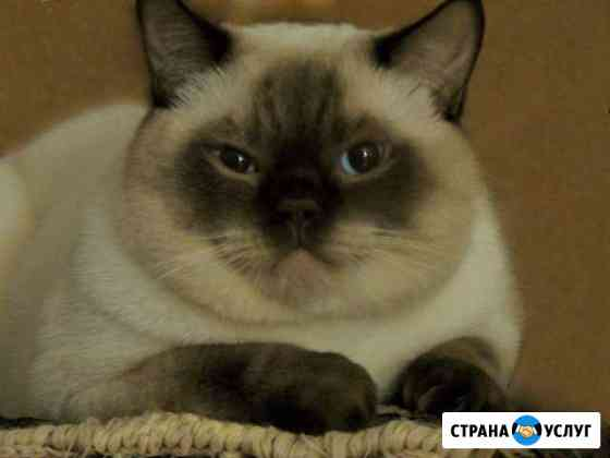 Вязка с британским котом Краснодар
