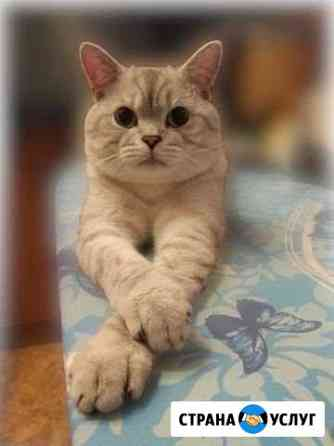 Шотландский кот - вязка Малоярославец