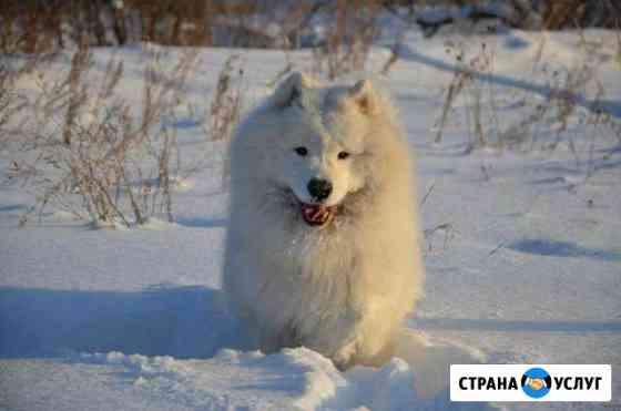 Самоед - Титулованный кобель для вязки Челябинск