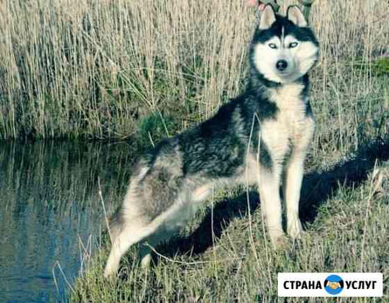 Хаски кобель для вязки черно-белый голубоглазый Рыбинск