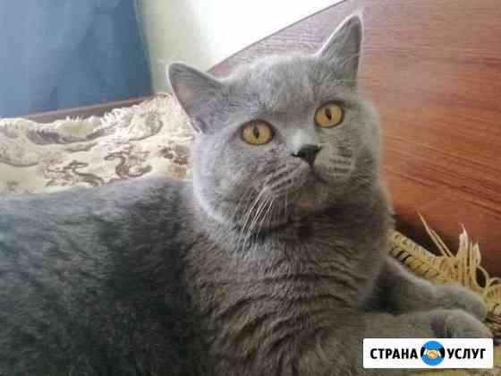 Дам на вязку британского кота Чебоксары
