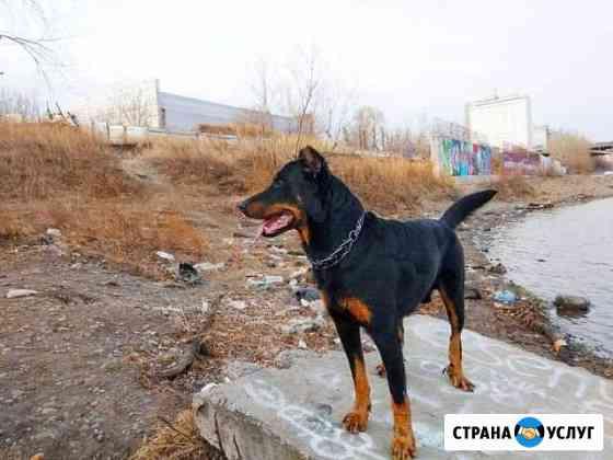 Французкая овчарка - Босерон для вязки Красноярск