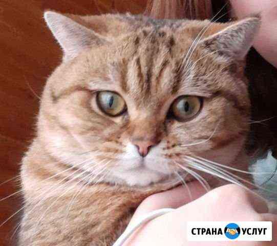 Кот для вязки шотландец-британец Набережные Челны