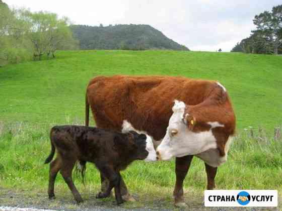 Искусственное осеминения коров Сарманово