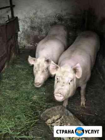 Свиньи скот Незлобная