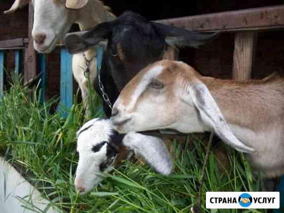 Обезроживание козлят термокаутером Кропоткин