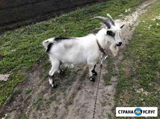 Вязка козла Курск
