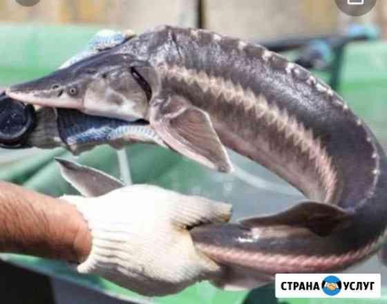 Рыба Сургут