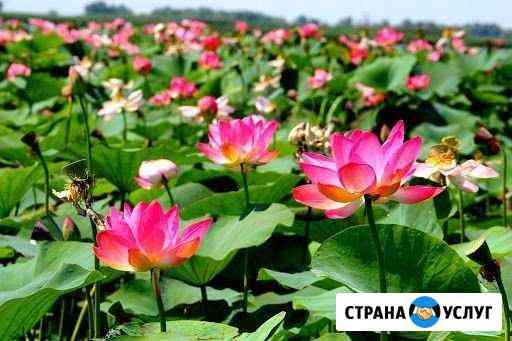 Лотосовые поля,Рыбалка,Отдых в Астраханской област Оранжереи