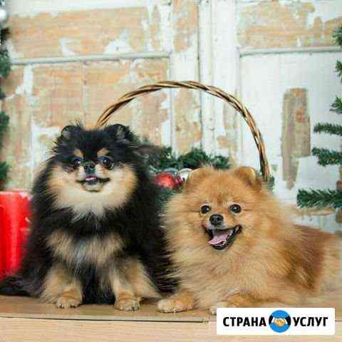 Аренда шпицев для фотосессий Пермь