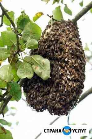 Сниму рой пчёл и заплачу Вам Чапаевск