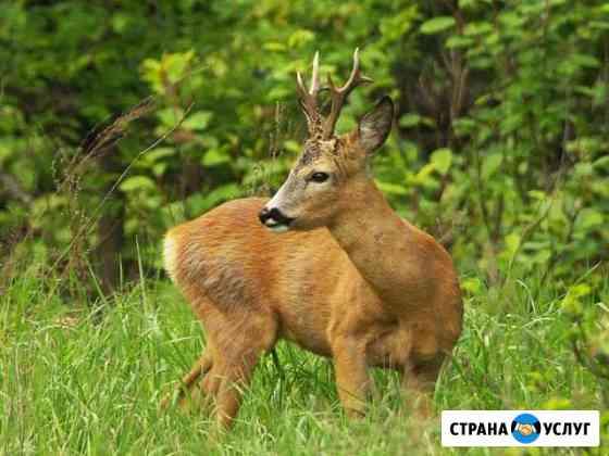 Охота на косулю в Беларуси Себеж