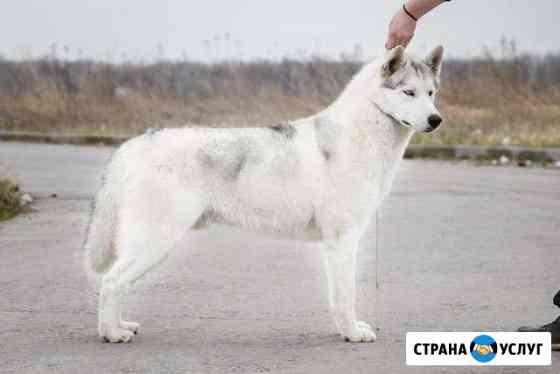 Вязка Сибирский хаски Рязань