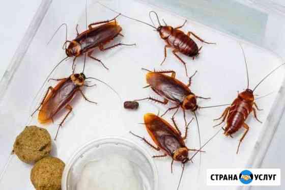 Избавление от тараканов,муравьев Калининград