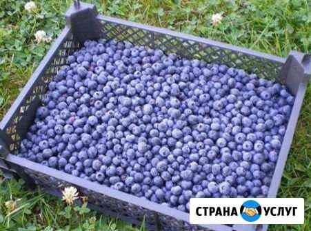Черника Сургут
