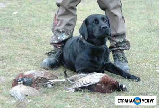 Натаска подружейных собак, готовые собаки Воронеж