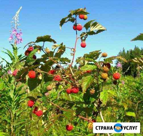 Лесная малина Хабаровск