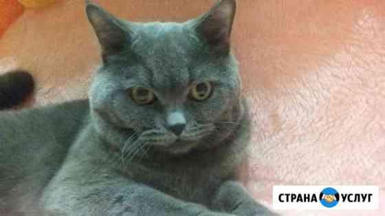Вязка с британским котом Ростов-на-Дону