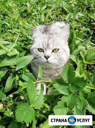 Вязка. Породистый кот - чистокровный британец Абдулино