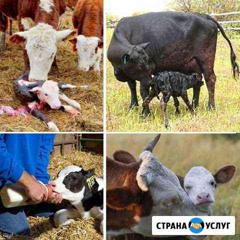 Ректальное исследование коров Целинное