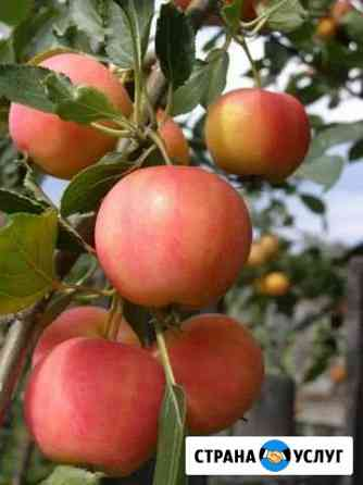 Опрыскивание плодовых деревьев Курск