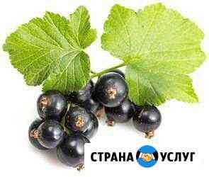 Чёрная смородина Вологда