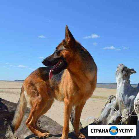 Немецкая овчарка, кобель на вязку Новосибирск