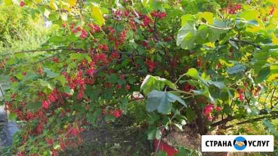Красная смородина Петрозаводск
